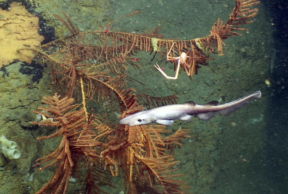 Apristurus manis & black coral edited J2-685 RGB.20130512_132004_535.jpg