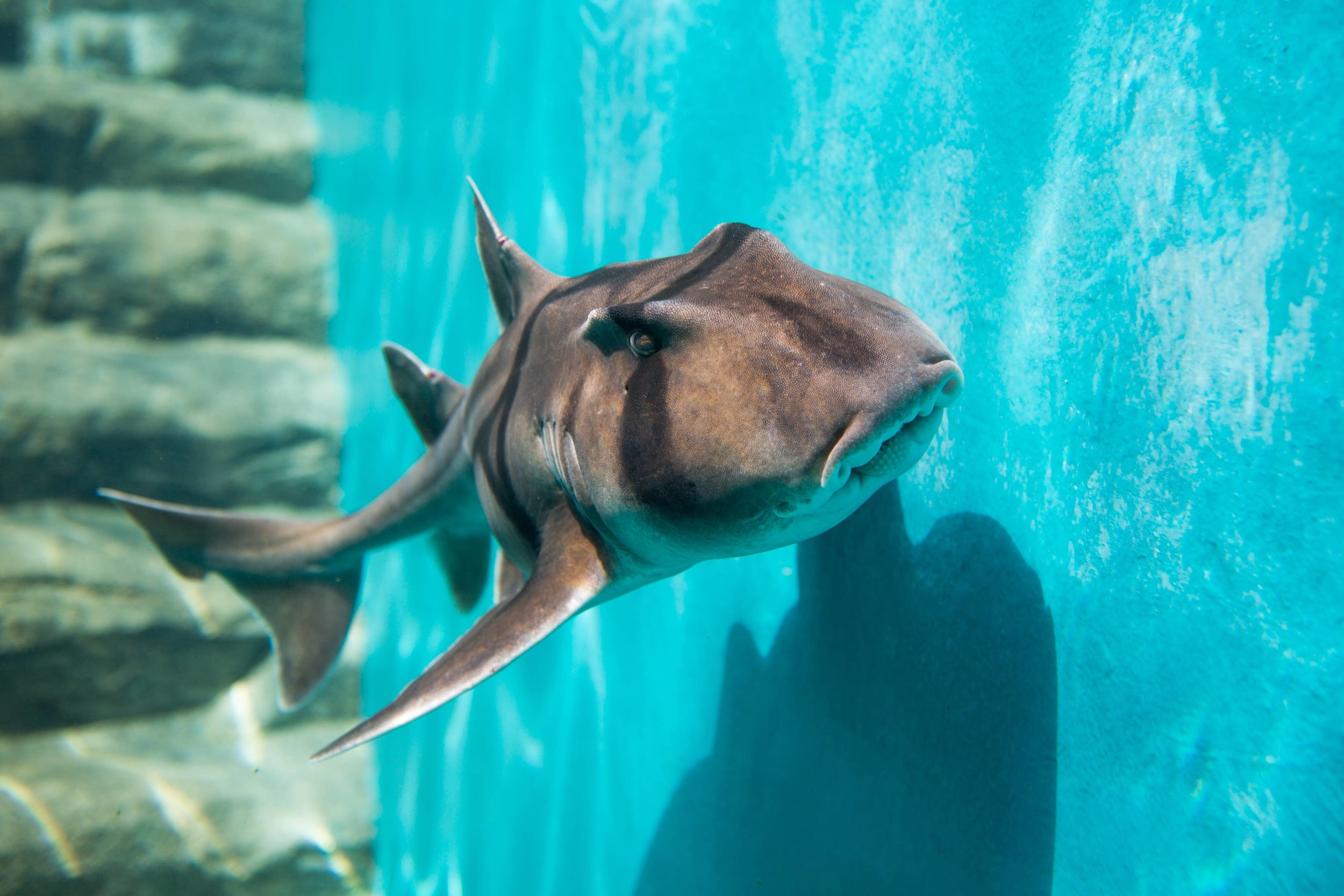 An adult Port Jackson shark. Image by Julianna Kadar.