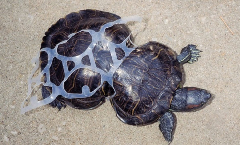 turtle-six-pack-rings-plastic-pollution.jpg