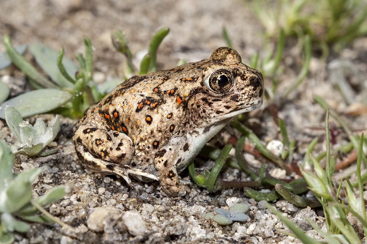 Western Spadefoot Toad. © Bill Bouton