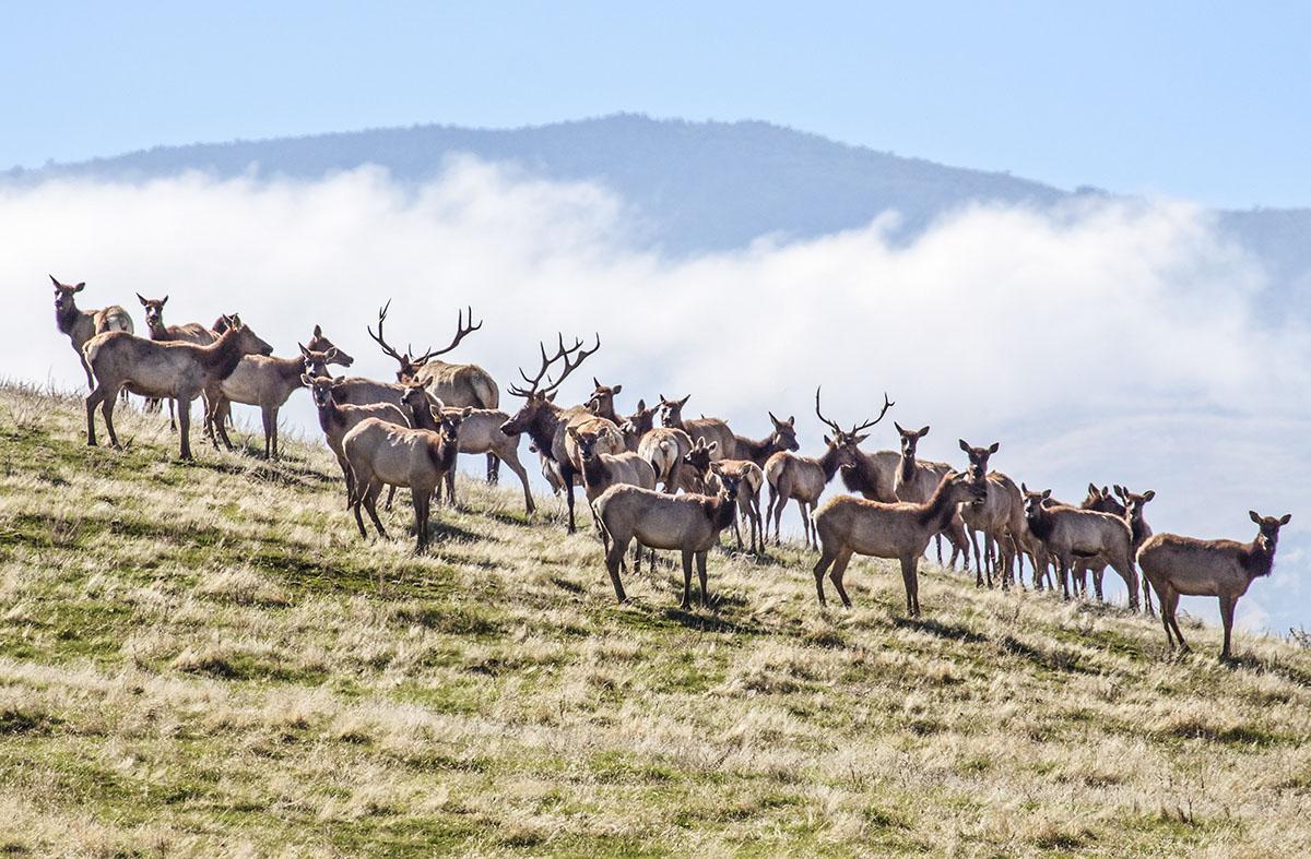 Tule Elk. © Bill Bouton