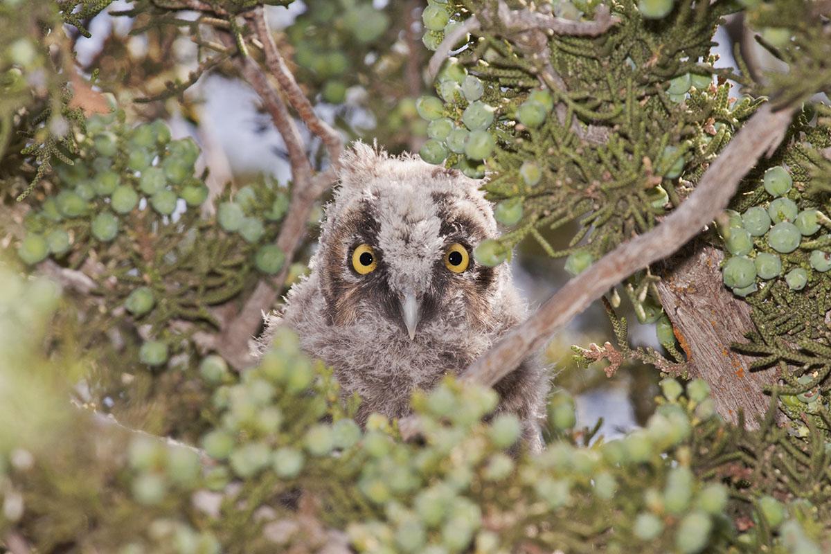 Long-Eared Owl Fledgling in Juniper. © Bill Bouton