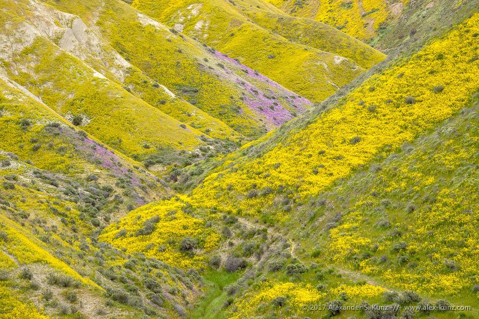 Hillside Daisies in Temblor Range © Alexander S. Kunz