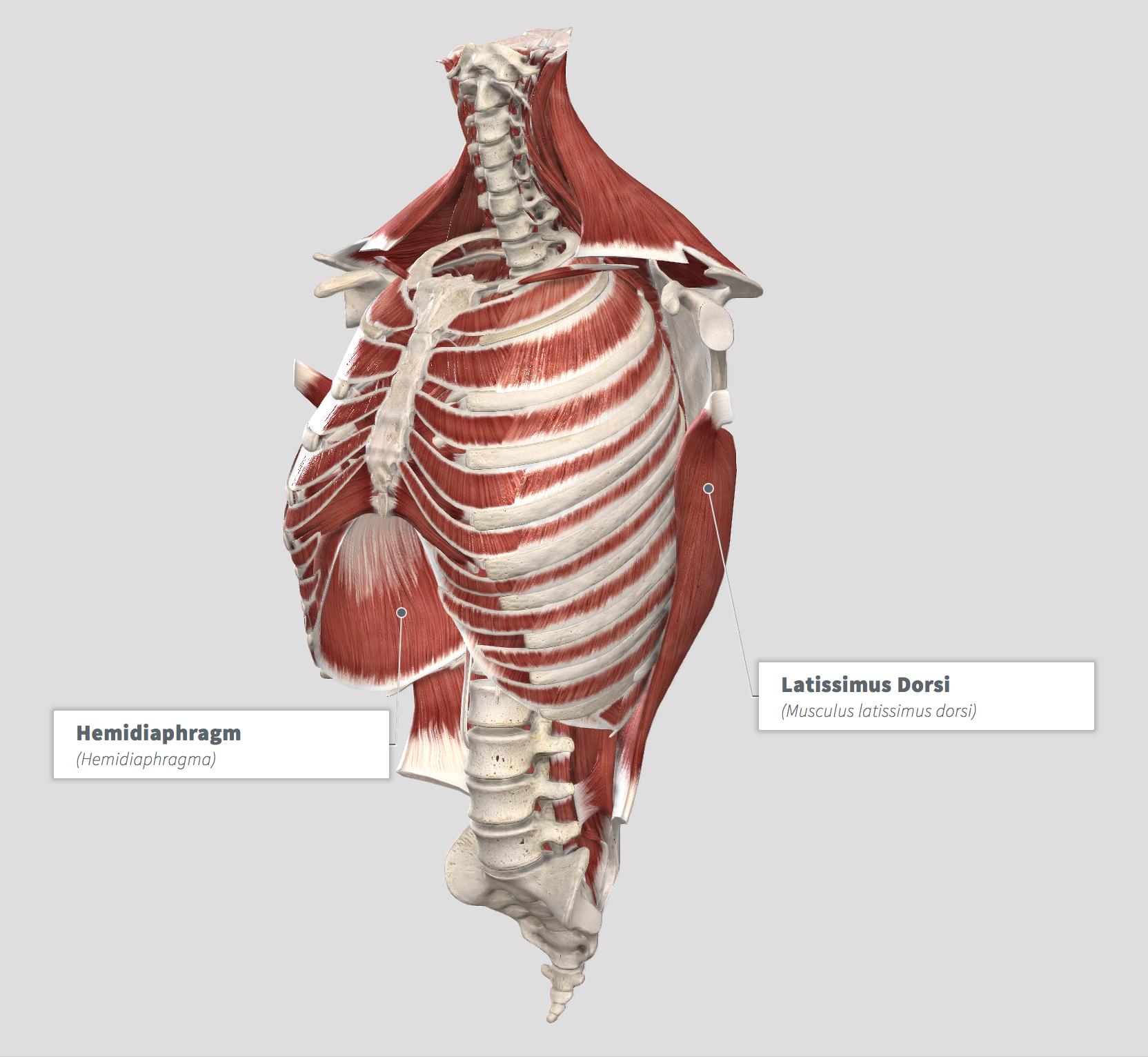 Diaphragm - Bi Lat .png