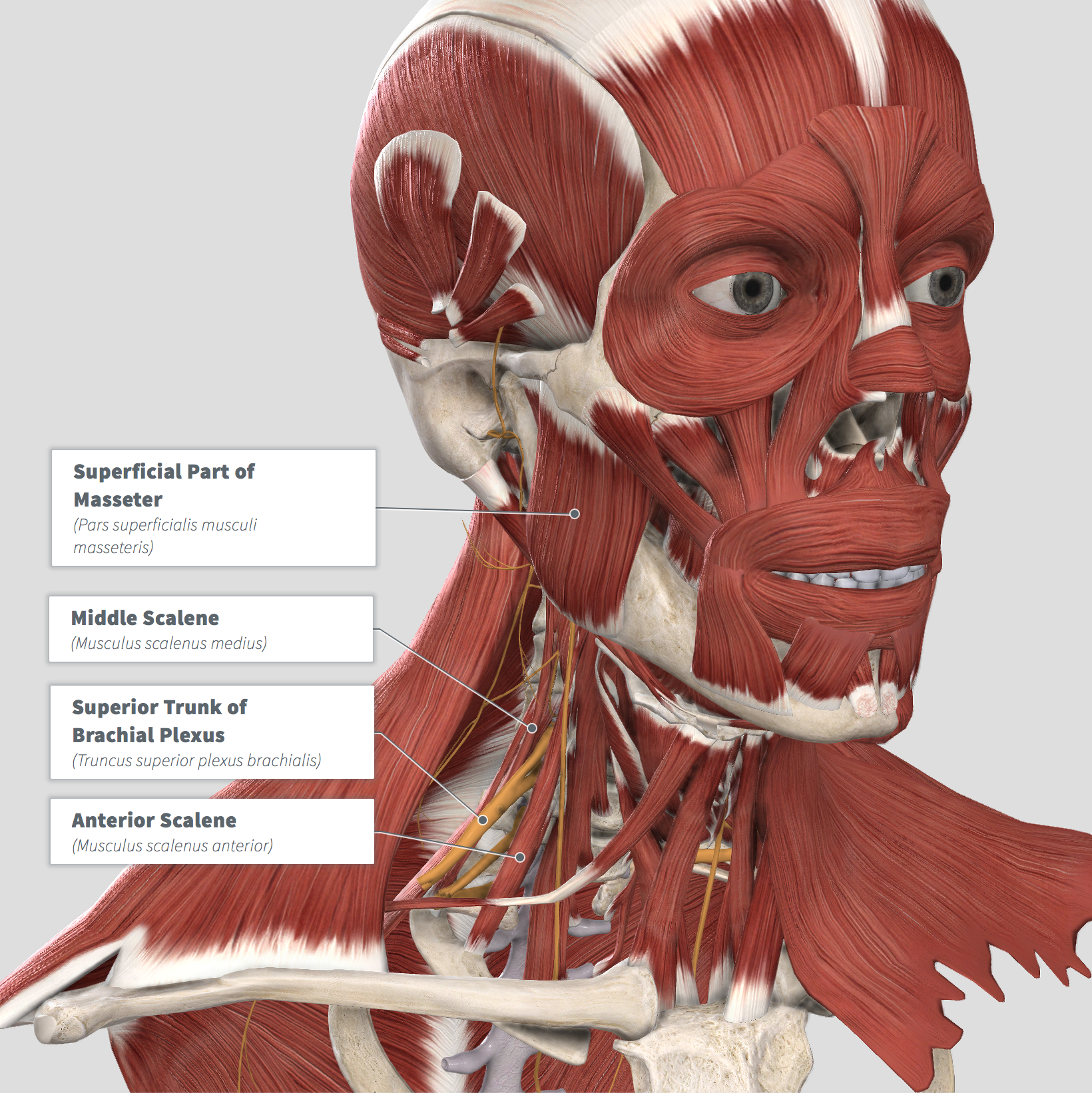 Masseter - Scalenes .png