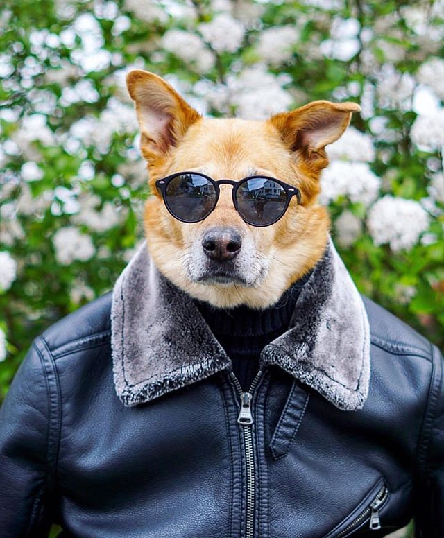 R.I.P. to the legendary Mojo of @mojoandstewy. 💖🥺💔🙏 Sending our deepest love & condolences to her amazing family. We are so glad to have met them through #Petzbe & our collective love of animals. 💗🌟🐾🙏 Please follow their page to see many more incredible photos of Mojo being the coolest pup around town. 🌟💗 #mojoforever #family #rip