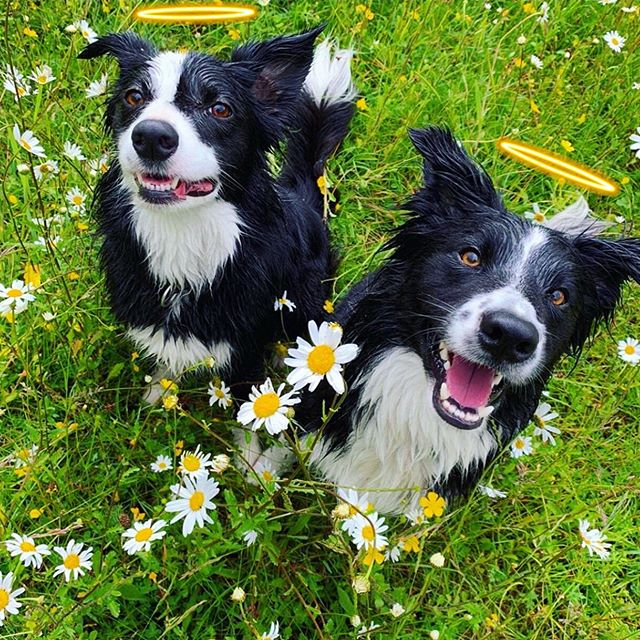 #SaturdayVibes starring Edward & his sister Poppy! They are definitely two of the most heckin' pawdorable angels we have ever seen! 😇🐶 They both love swimming, going for boat rides, frolicking in the grass & balls. 🎾 ❤️ Go *sniff* them today on #Petzbe!🐾📲 Username @ ed66 🐾 📲 It's free, fun & the cutest online community on the 🌎 planet! 💓🥳 #bordercollies #app
