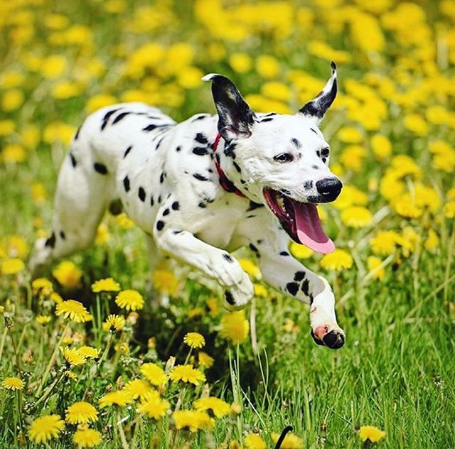 Happy #TongueOutTuesday from Buddy the Dalmatian! How insanely cute is he?! We can't get over it.💖😛 *Sniff* Buddy today on #Petzbe & become best furrrrends furrrever! 🐾 📲 Username: @ hannahbuddy