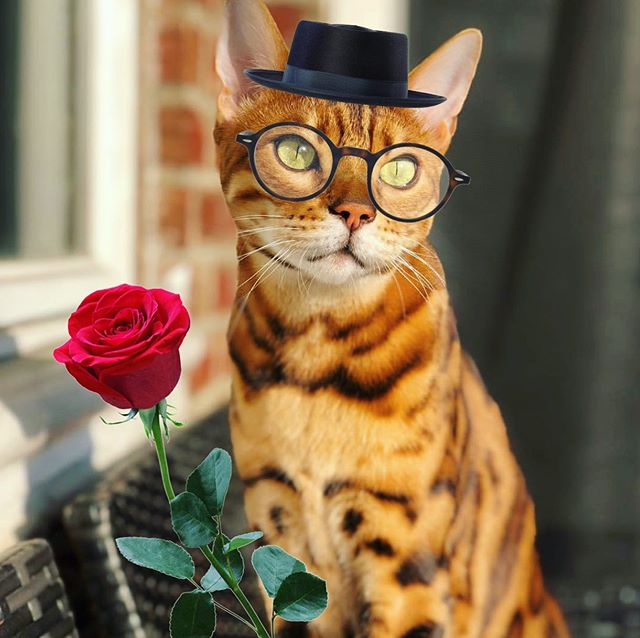Will you accept this 🌹rose🌹 from the stunningly handsome catchelor @jax_the_bengal_kitty?! 🌹❤️💖🌹 *Sniff* Jax today on #Petzbe to be dazzled & charmed on the daily! 🐾📲 #app