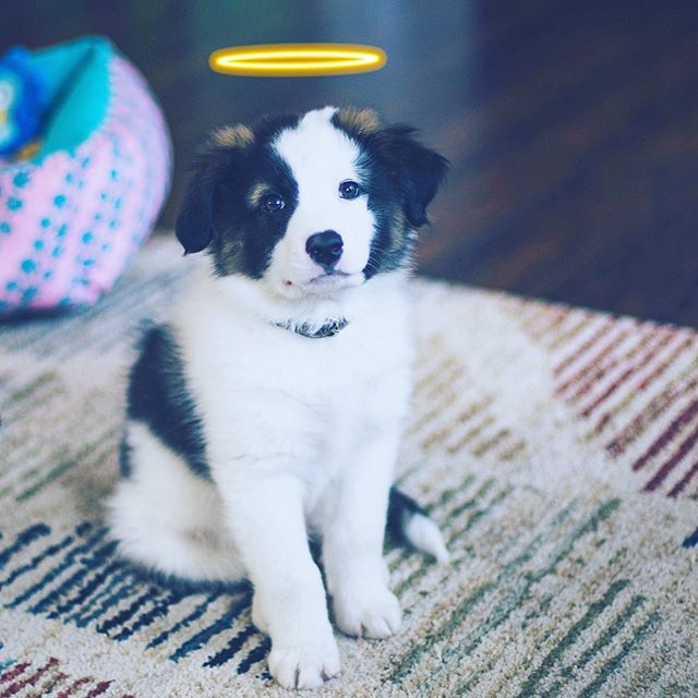 @bobo.billionaire is a #Petzbe⭐️🐾supawrstar🐾 ⭐️! Bobo is a #bordercollie & #australianshepherd mix. He loves to sit, shake, jump through his agility hoop, dig in the mud, annoy his big sisters @butterandmala (who he loves so much), & play with his thousands of toys. 🧸 🎾 💗 Bobo wants to be best furrrends furrrrever with YOU! So join him today on Petzbe so you be a part of the cutest online community in the world! 💖⭐️🐾📲