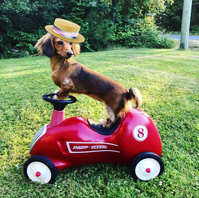 GinnyBean ALWAYS rides in style. 🚗 👒☀️❤️ *Sniff* Ginny today on #Petzbe & maybe she will let you take a ride with her in her sweet whip! 🚗💖 🐾 📲