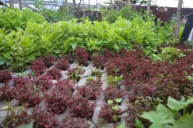 Những vườn rau tại đây chủ yếu là rau ngắn ngày. (Ảnh: Minh Sơn/Vietnam+)