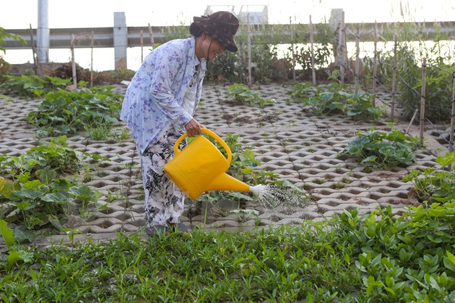 Cô Nguyễn Thị Âu (65 tuổi) vui vẻ chăm sóc vườn rau rộng khoảng 80m2 của mình. Nhưng cô vẫn canh cánh nỗi lo vườn rau trồng ở đây luôn bị vặt trộm. 'Chỉ cần không để ý một chút là có người ra vặt hết rau. Công sức trồng bao lâu của tôi bỏ đi hết'. (Ảnh: Minh Sơn/Vietnam+)