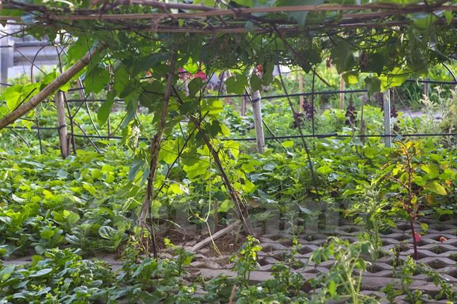Một số hộ dân còn bắc giàn trồng các loại cây leo như: bí, susu, đỗ,… (Ảnh: Minh Sơn/Vietnam+)