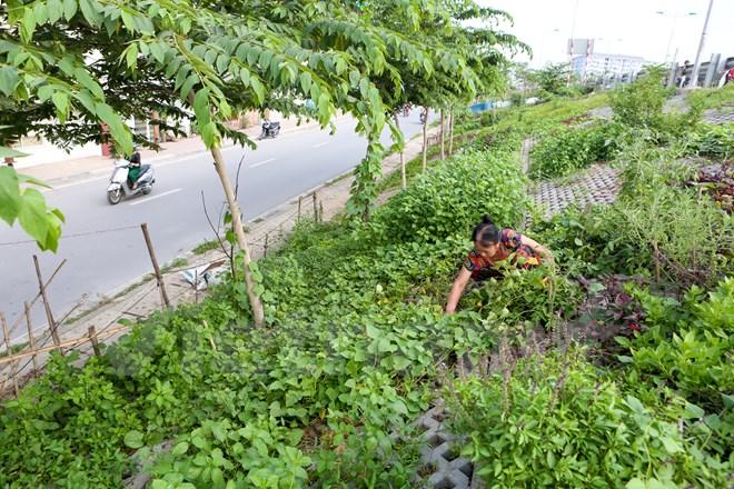 Cô Nguyễn Thị Dung, một cán bộ về hưu sống tại đường Bưởi cho biết, con đường này có khoảng hơn 10 hộ gia đình tham gia trồng rau với mục đích chủ yếu để tăng gia sản xuất, muốn có nguồn rau sạch để ăn hàng ngày. (Ảnh: Minh Sơn/Vietnam+)
