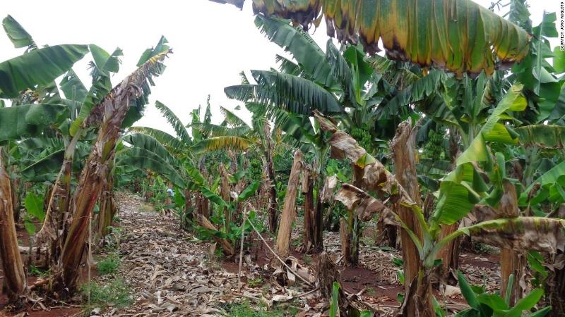 Những bẹ chuối khô này là nguồn nguyên liệu cần thiết để sản xuất giấy ở Uganda