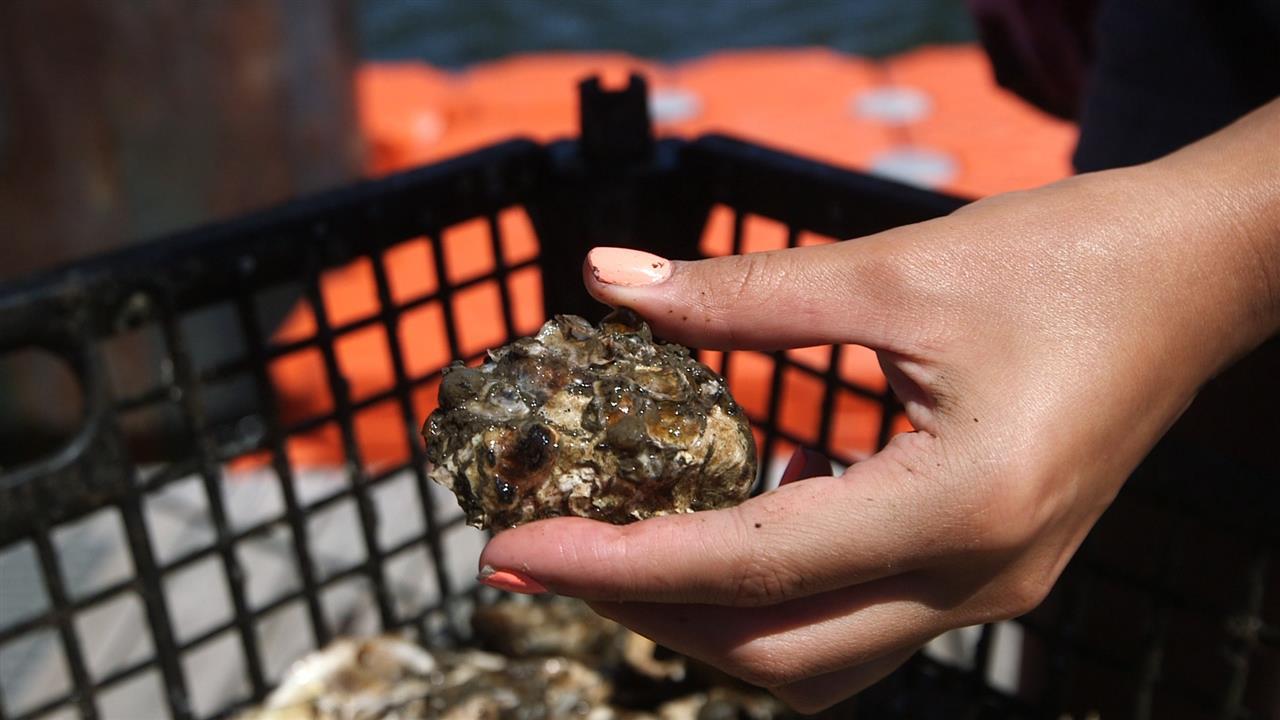 Rạn hàu và rạn đá hỗ trợ cho 1000 loài cá và động vật không xương sống ở cảng biển New York.