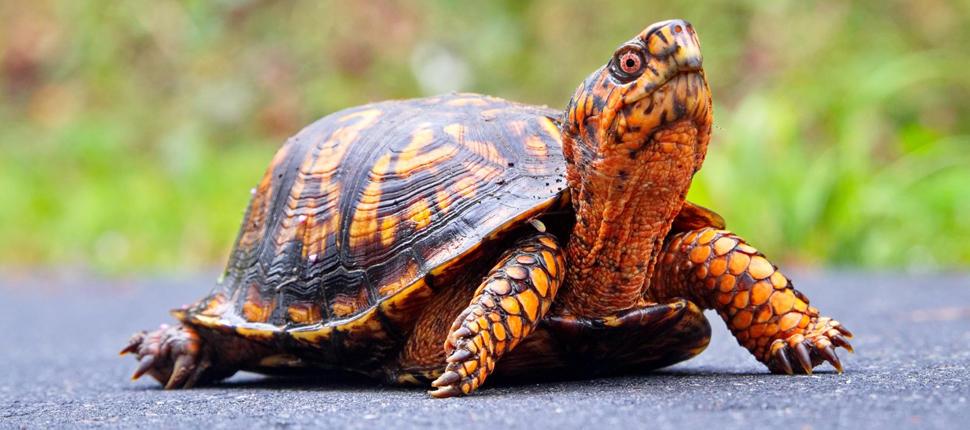 Mai là một bộ phận không thể thiếu của xương, giúp bảo vệ các nội tạng bên trong con rùa.