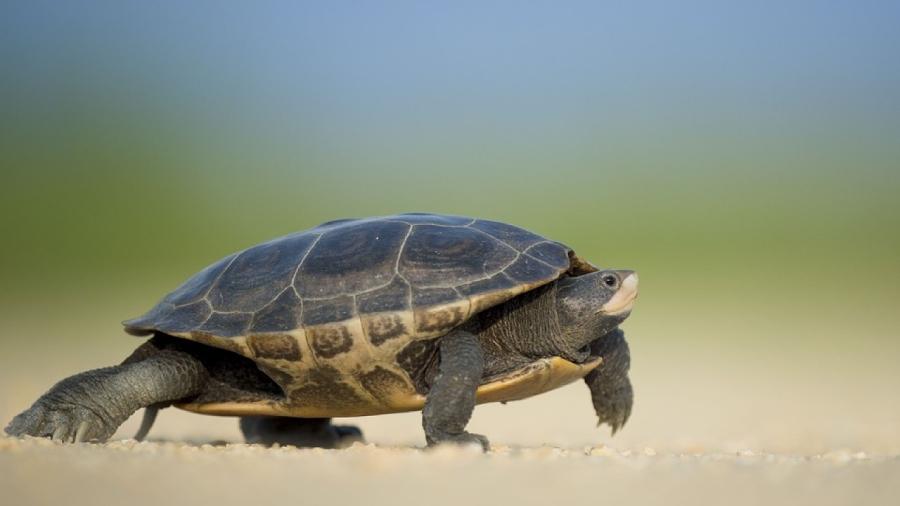 Những con rùa sẽ được trả về tự nhiên sau đó.