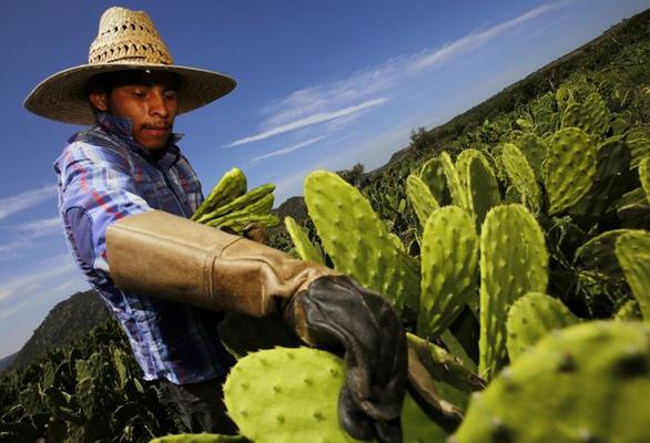 Cây xương rồng Mexico.