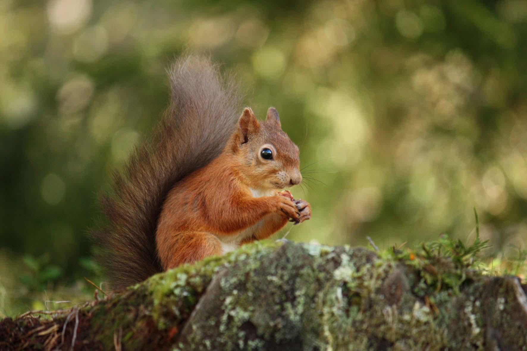 <b>Red Squirrels</b>