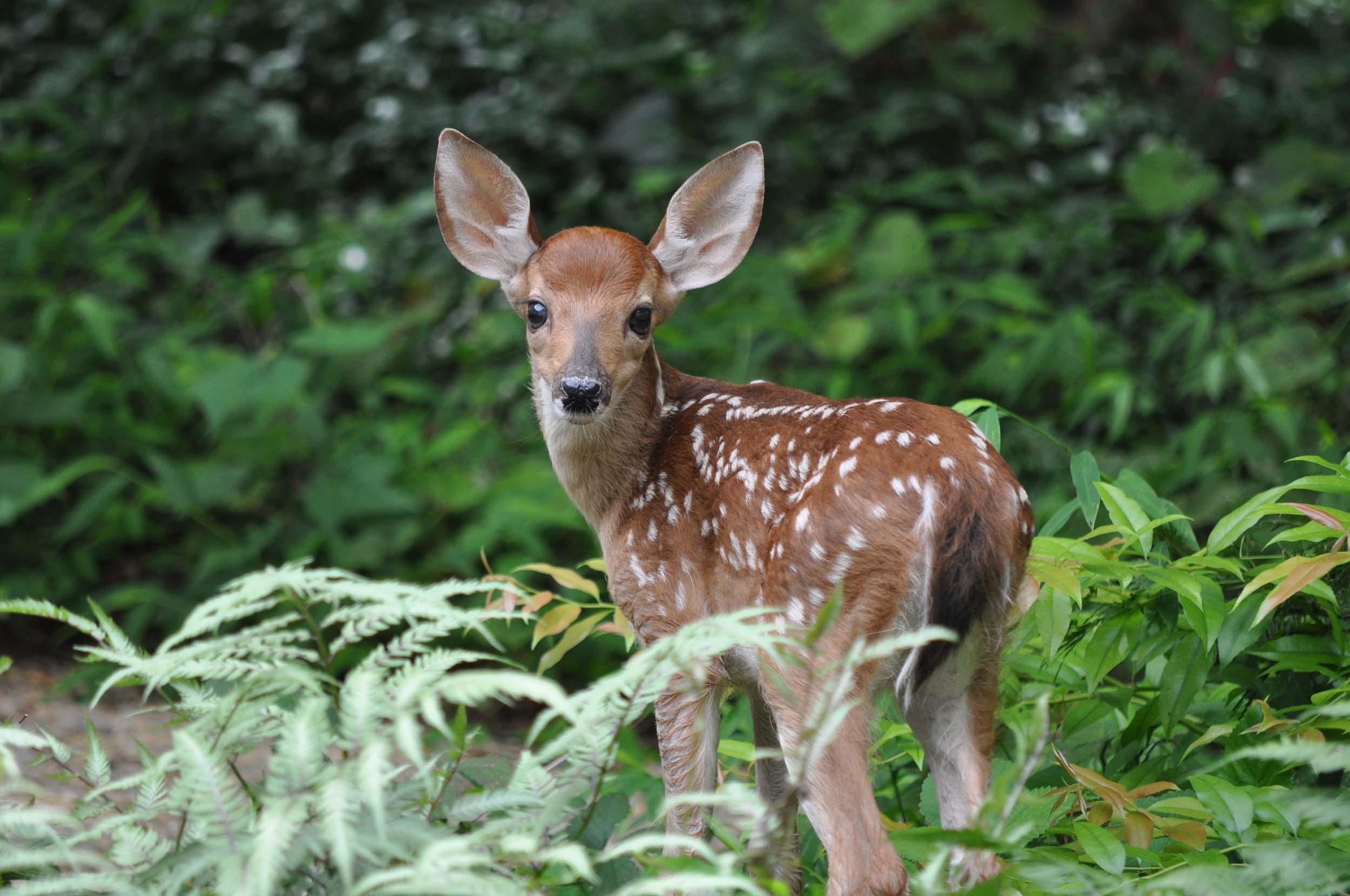 <b>White Tail Deer</b>
