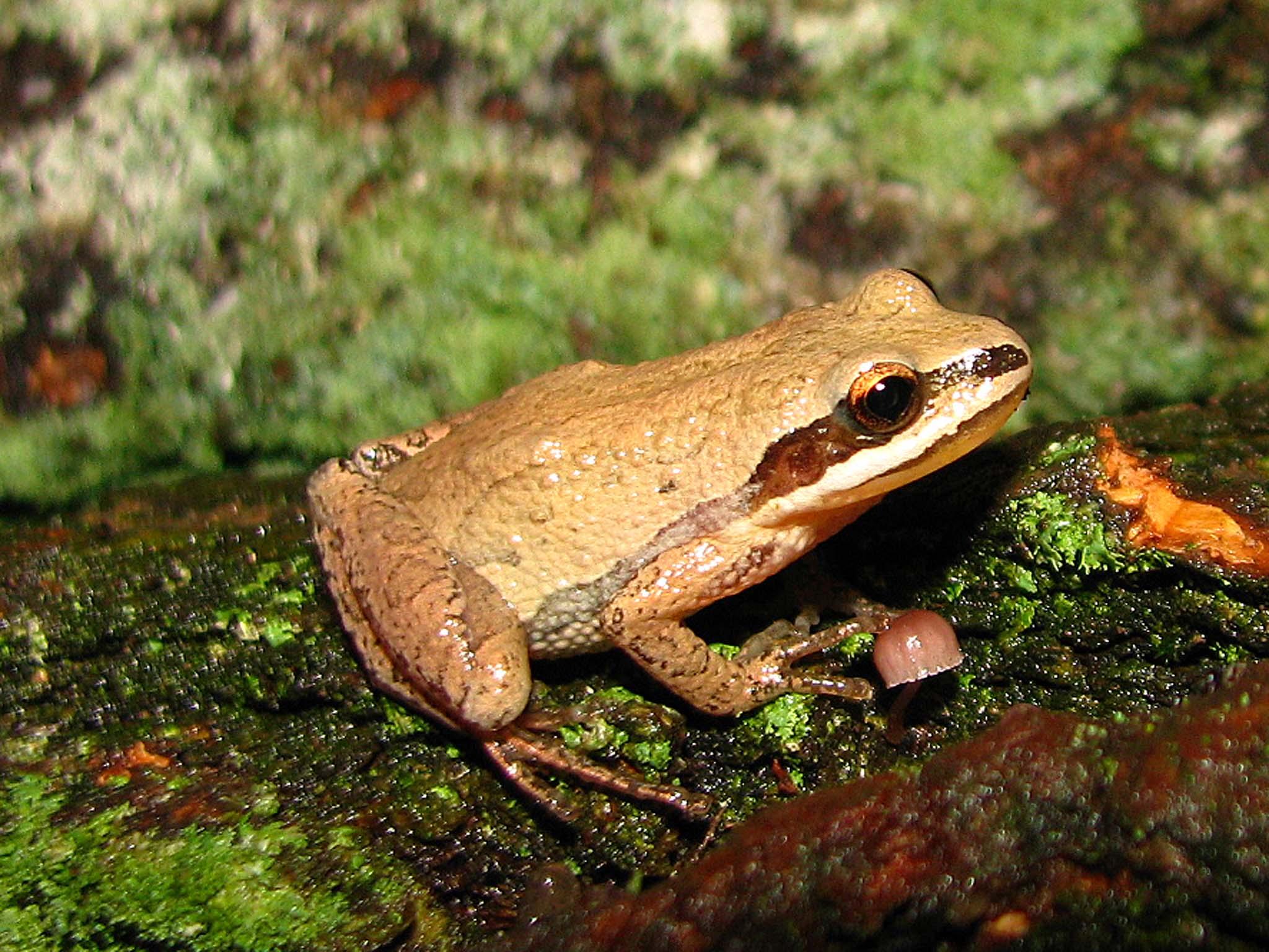 <b>Chorus Frogs</b>