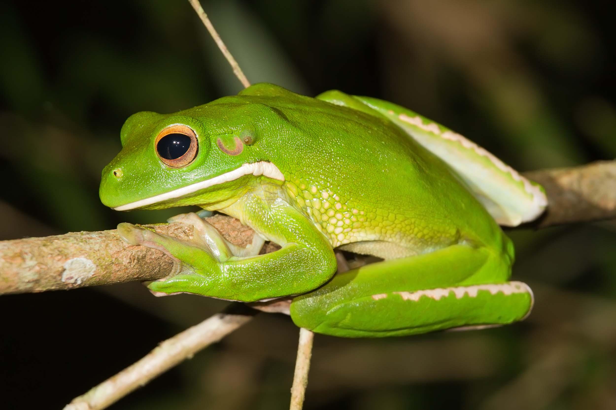 <b>Tree Frogs</b>
