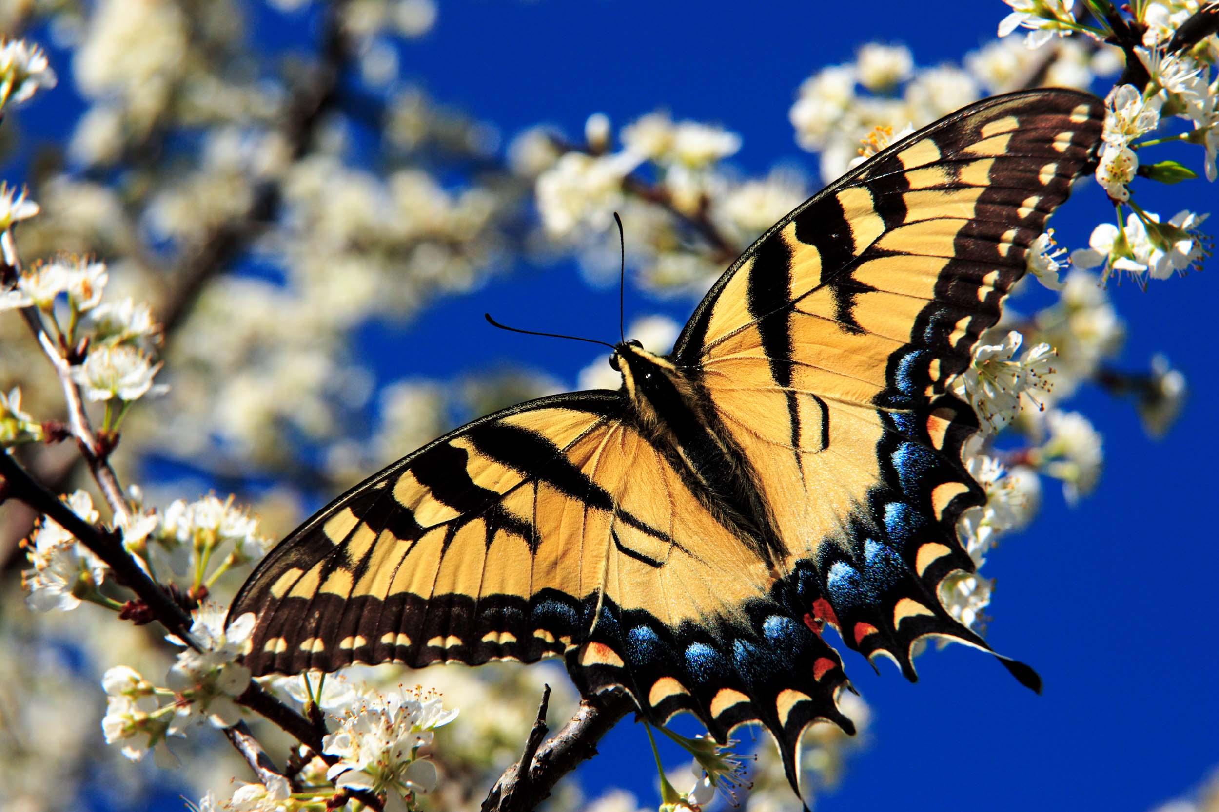<b>Tiger Swallowtail</b>