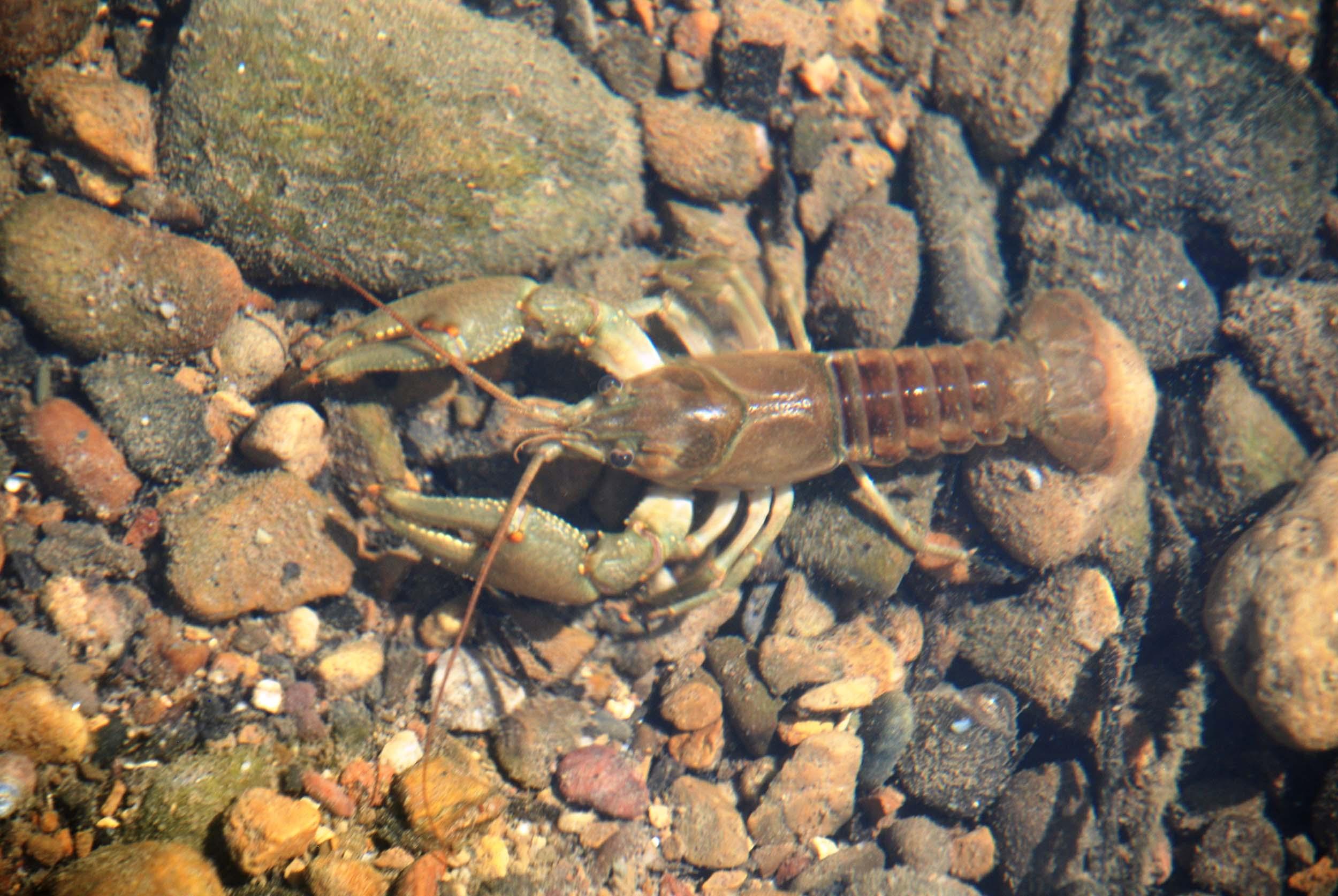 <b>Crayfish</b>