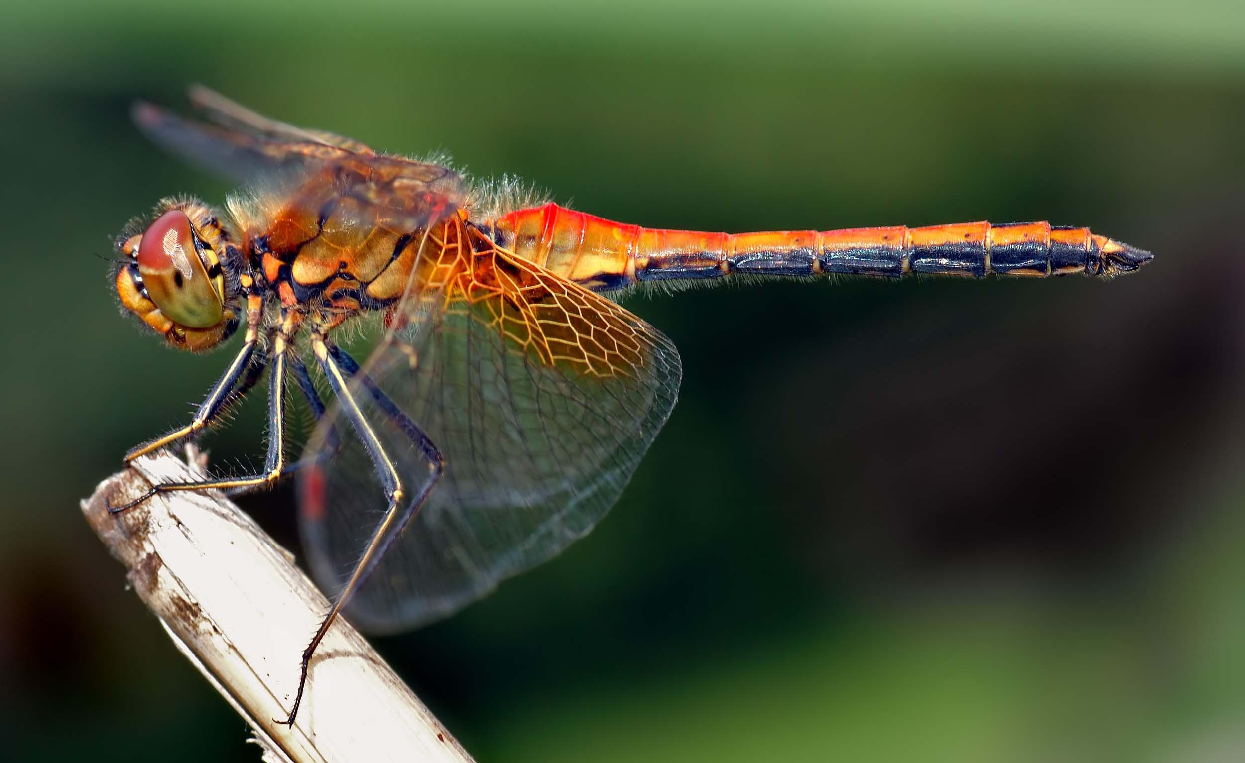 <b>Dragonfly</b>