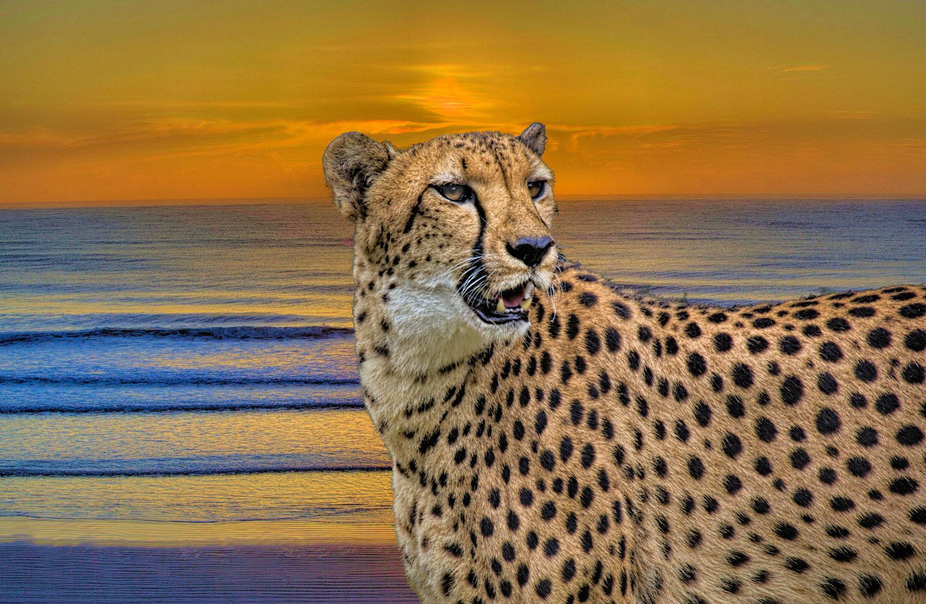 matthews_cheetah sunset.jpg