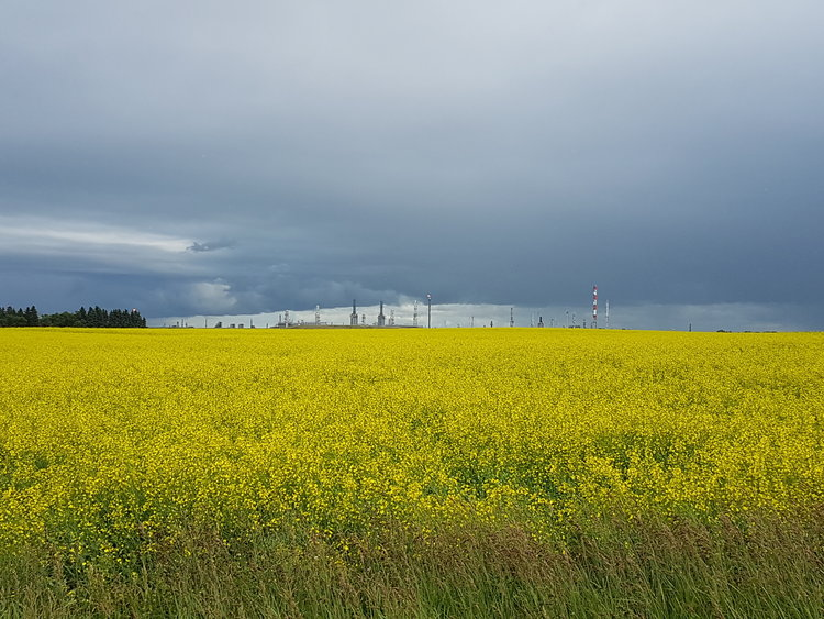 OUR 150 ACRE CANOLA FIELD IN MID-JULY. FIELD IS GENEROUSLY DONATED TO US BY PEMBINA PIPELINES.