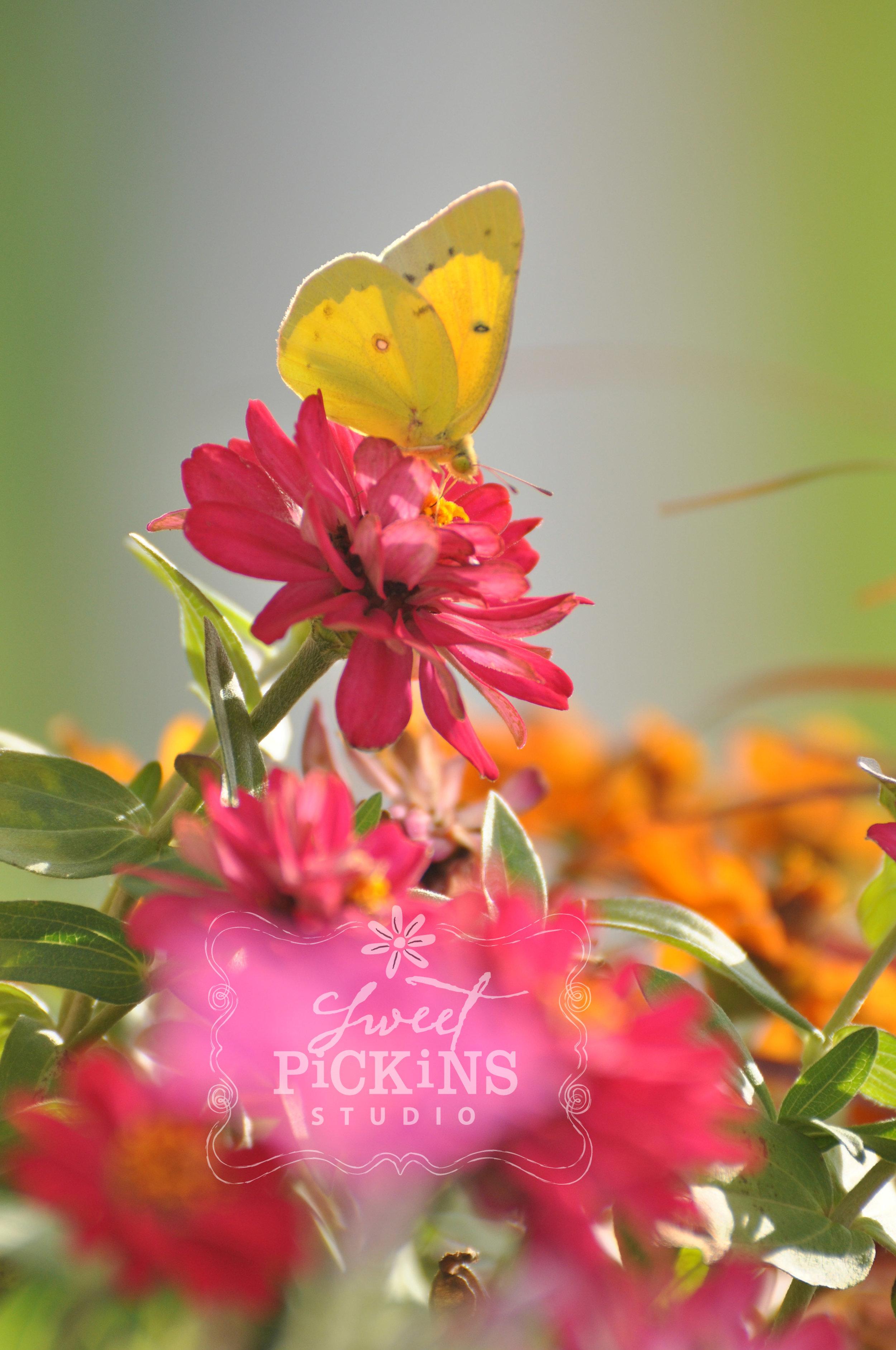 Butterfly in Zinnia Garden | Sweet Pickins Studio Photography