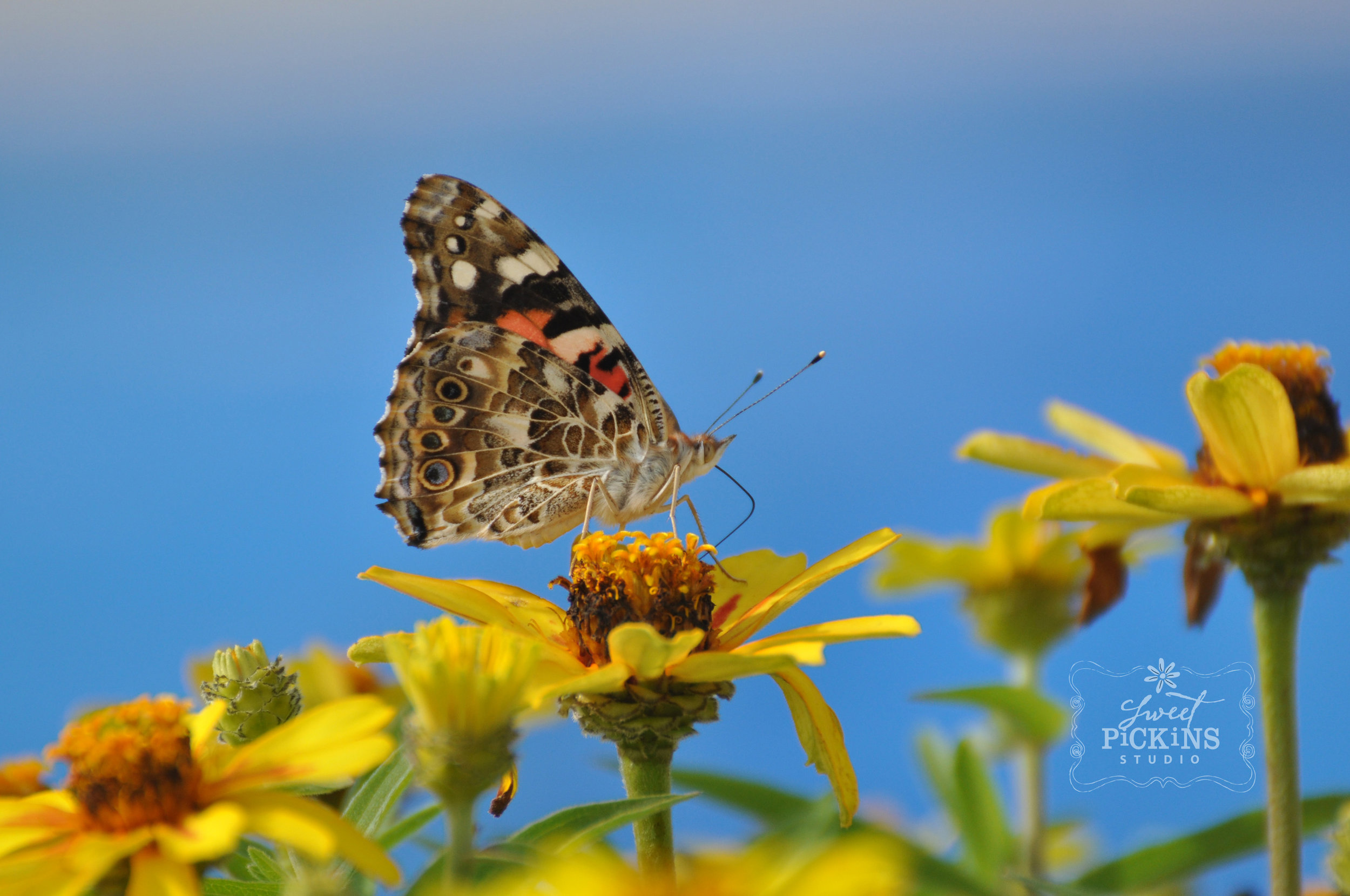 Yellow Profusion Zinnias and Butterfly | Sweet Pickins Studio Garden Photography