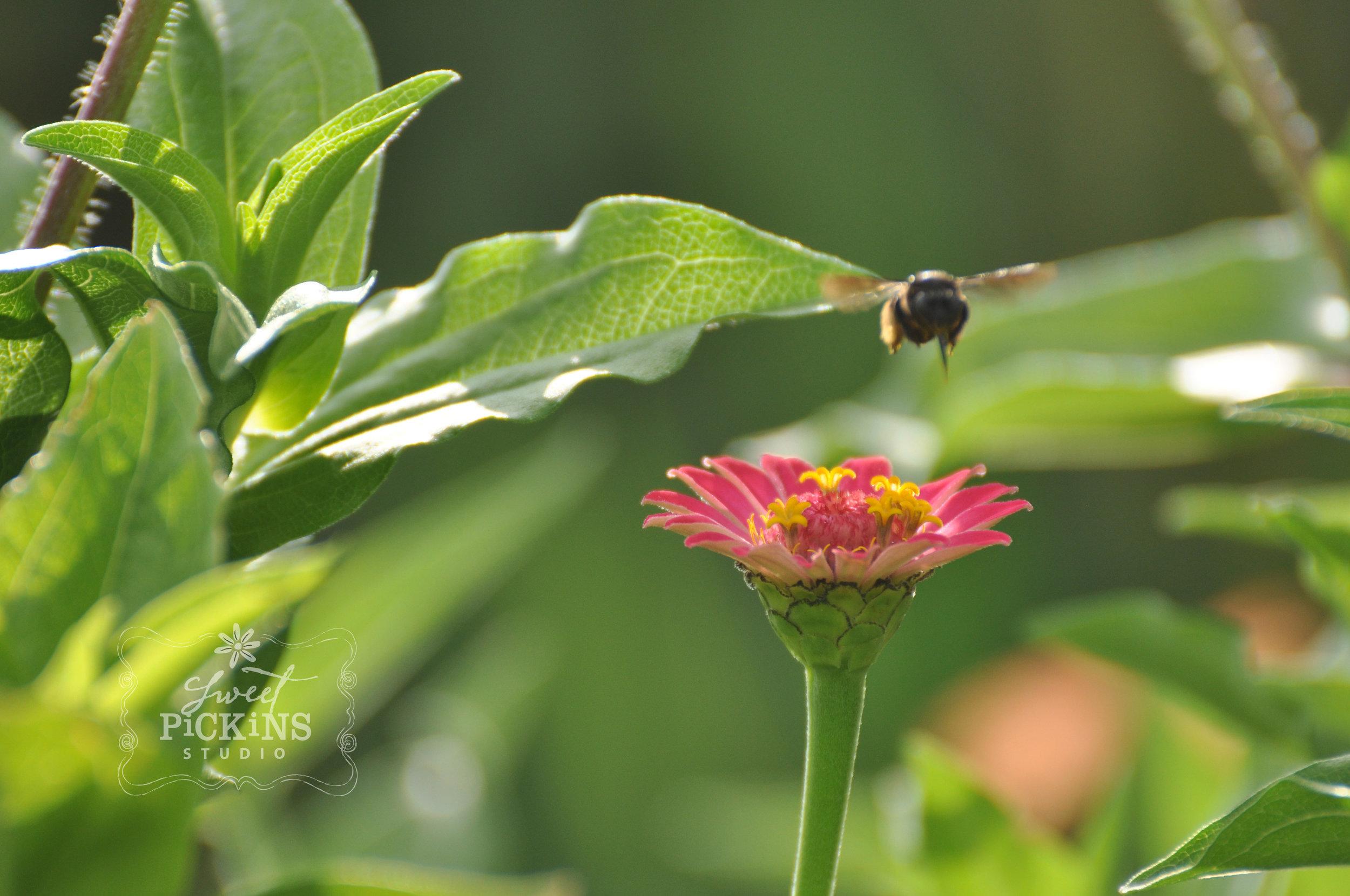 Bee and Zinnias in Garden | Sweet Pickins Studio Photography