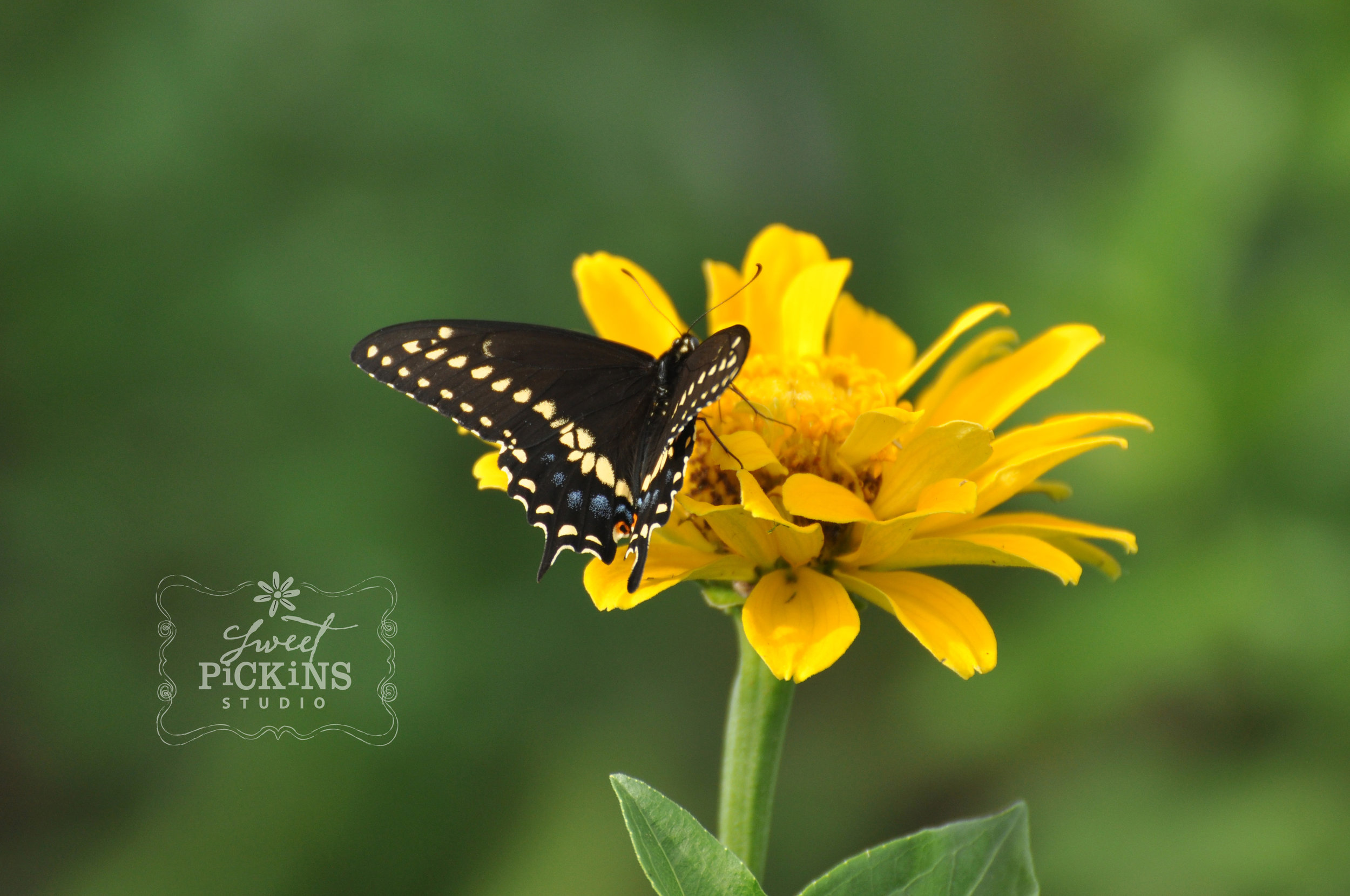 Yellow Zinnia and Butterfly Close-Up