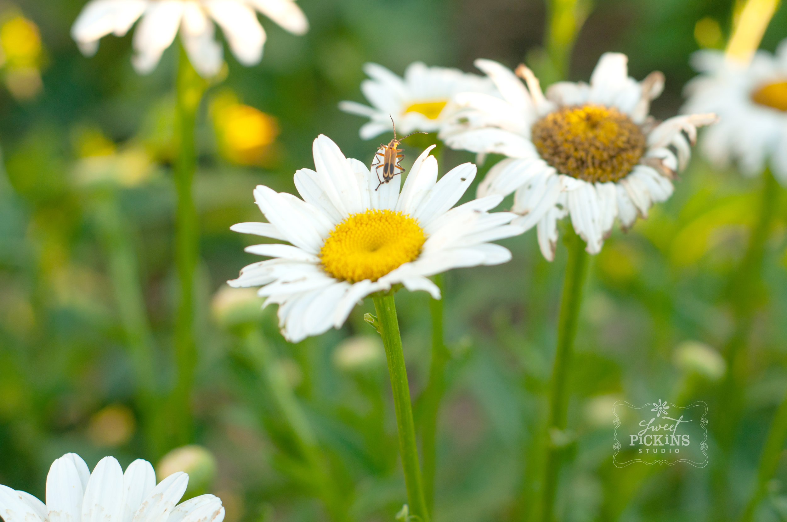 Shasta Daisies and Insect in Garden