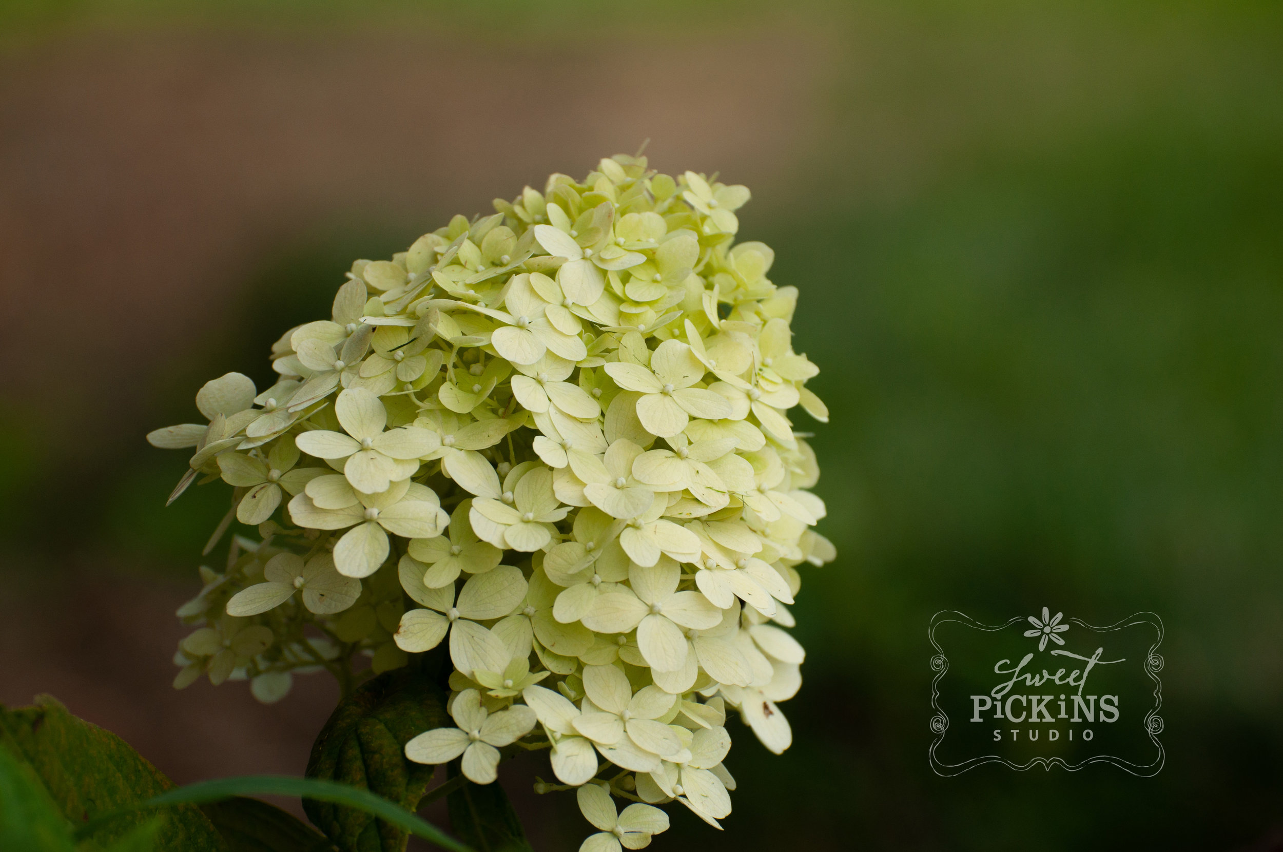 Hydrangea Bloom Close-Up | Peru, Indiana Garden Photography