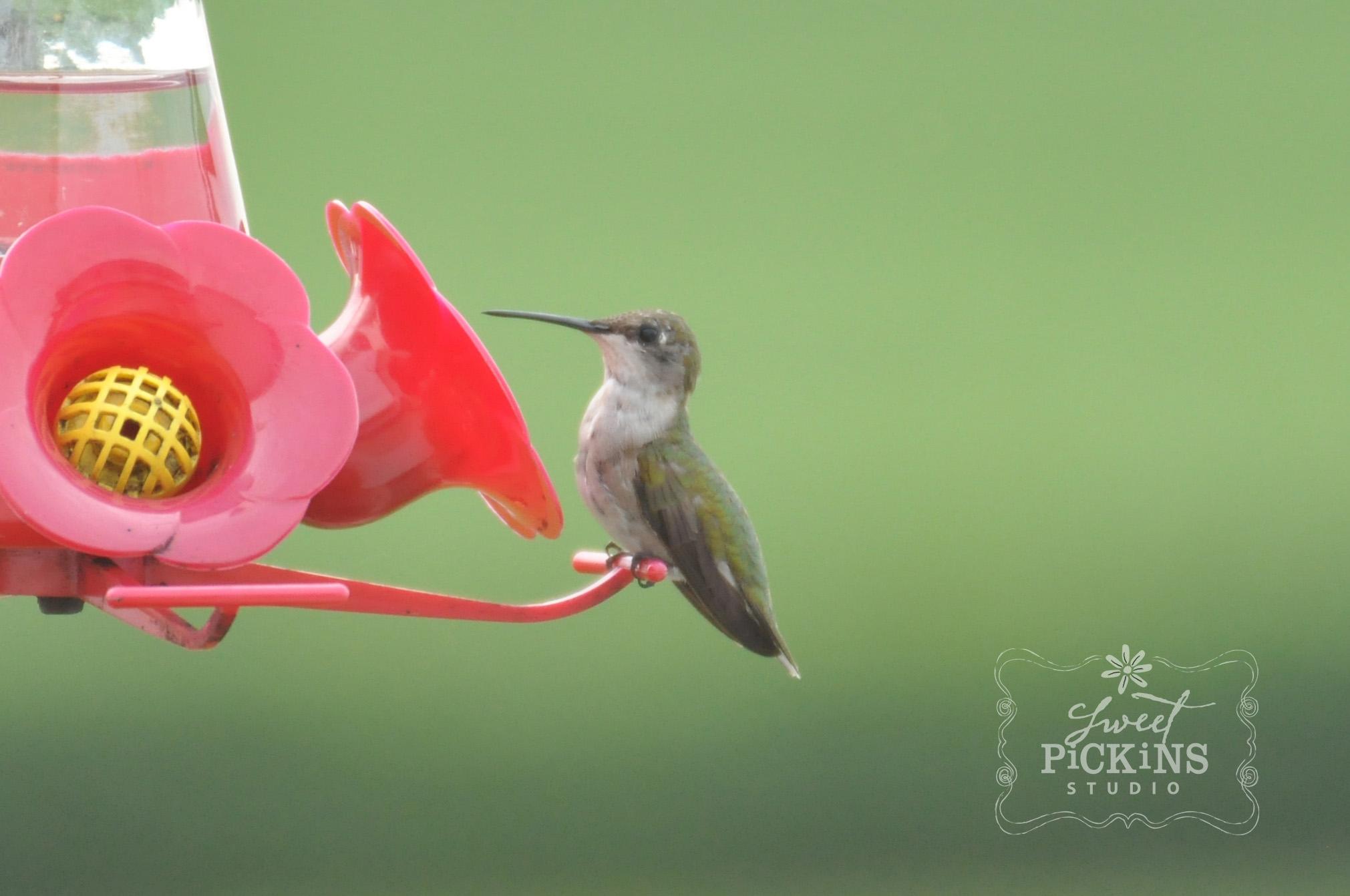 Indiana Hummingbird on Feeder