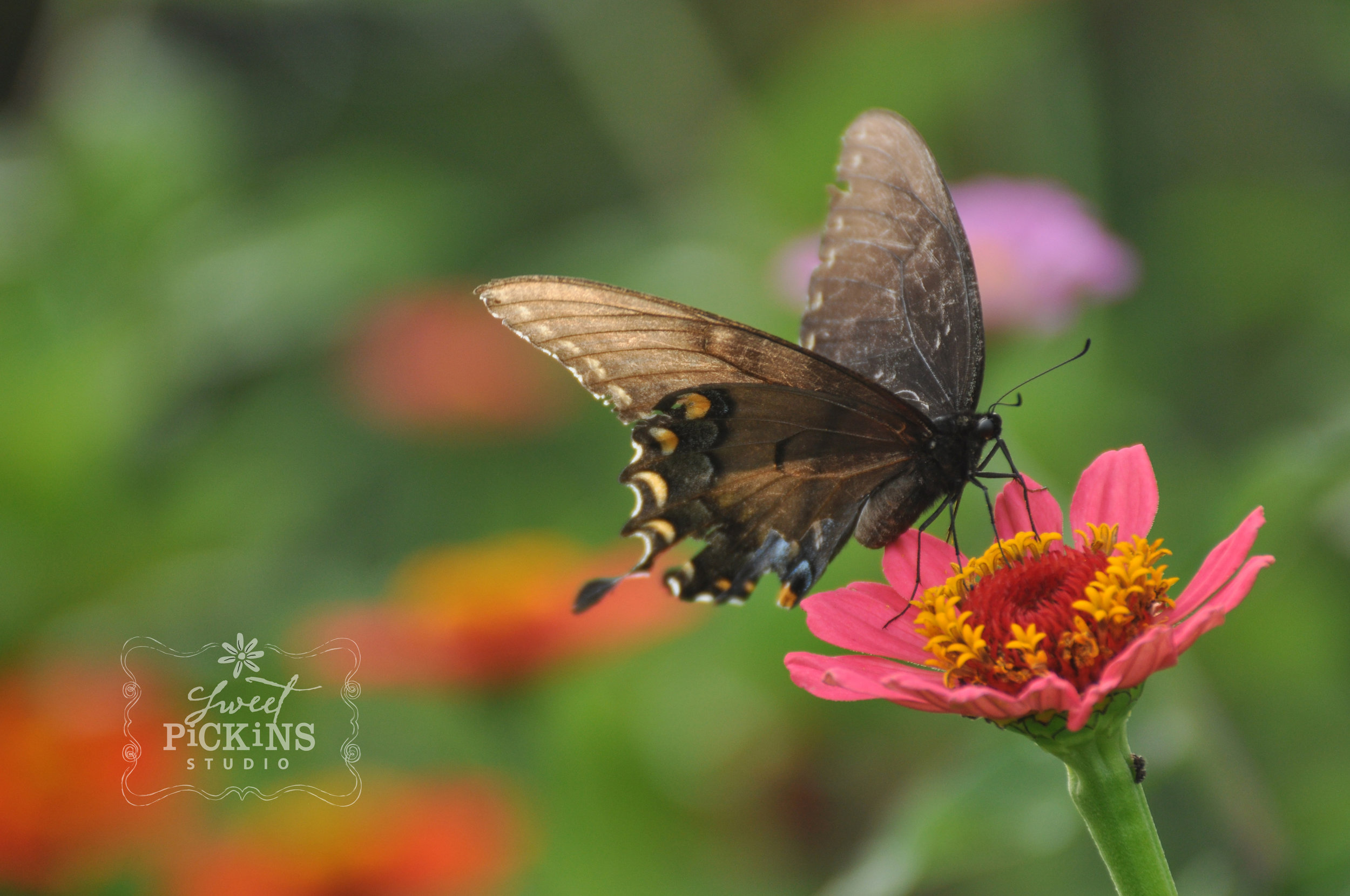 Peru, Indiana Garden Photographer
