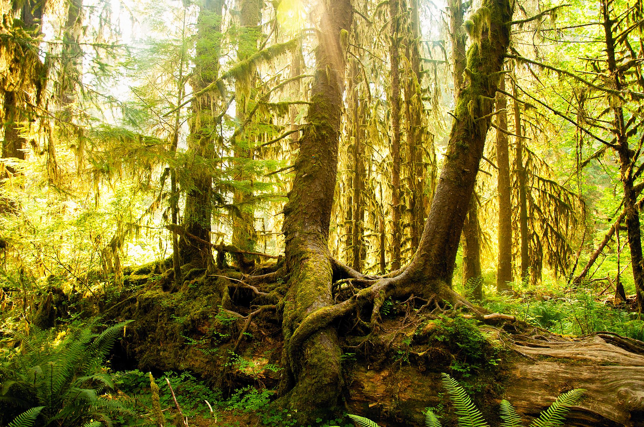 Nurse trees on Spruce Nature Trail, Olympic National Park, WA