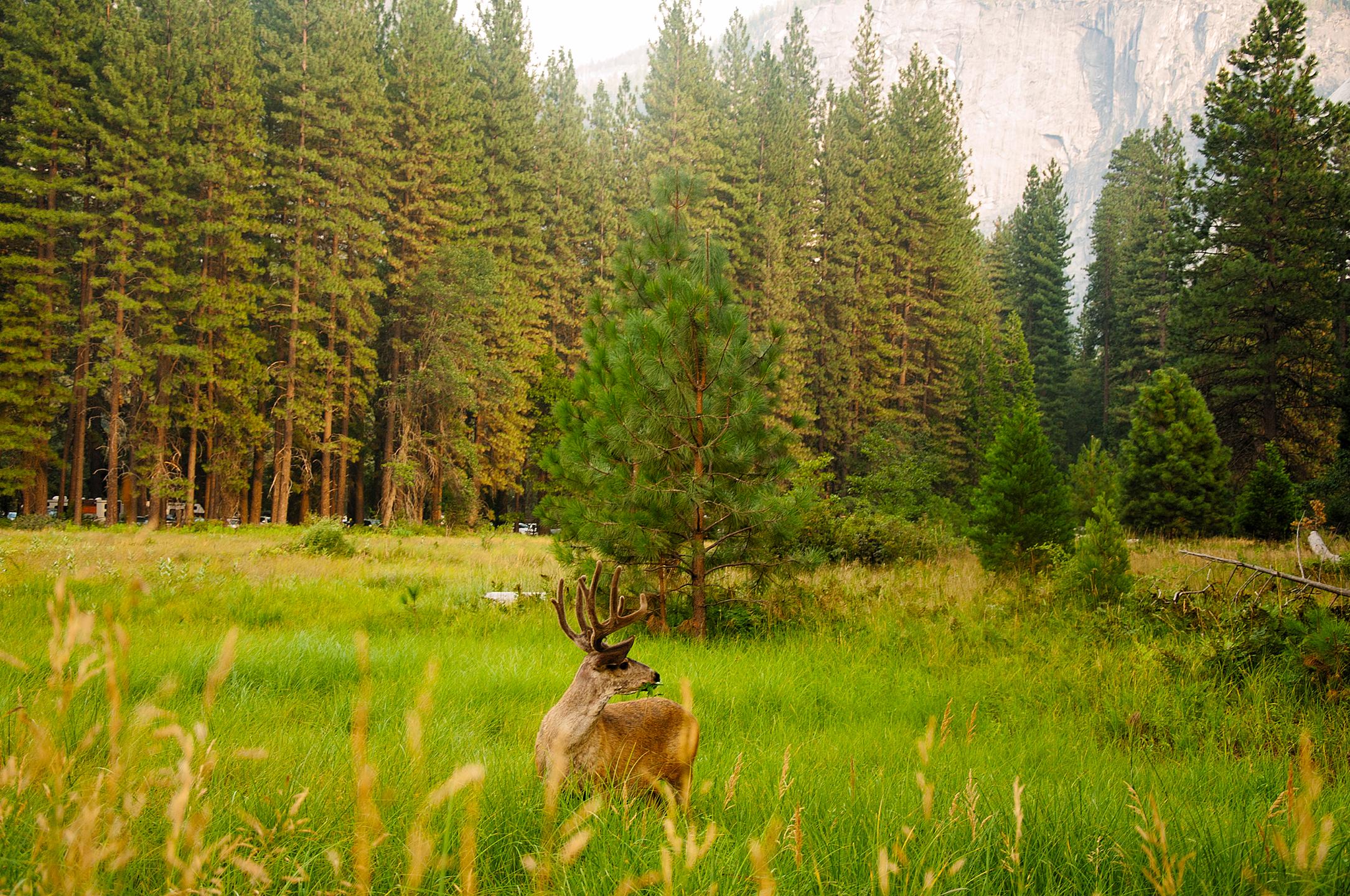 Deer in Yosemite Valley, Yosemite National Park, CA,