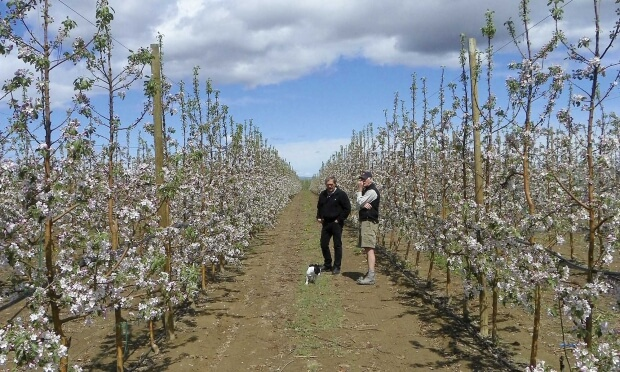 Randy Steensma (left) and Scott Smith (right) discuss the new Smitten™ apple in a test orchard in Quincy, WA. Smith grows several other New Zealand varieties in his orchard at Tonasket, WA.