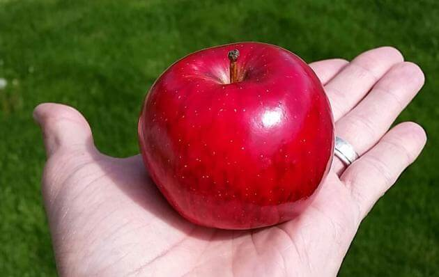 Apple grower-shippers say it's extremely difficult to persuade a retailer to give shelf space to new apple varieties, such as the Smitten apple here. (Photo by BelleHarvest Sales Inc.)