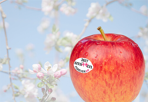 "Smitten is a new ""exceptionally great eating apple"" available from BelleHarvest Sales Inc., Belding, Mich., says Chris Sandwick, vice president of sales and marketing."