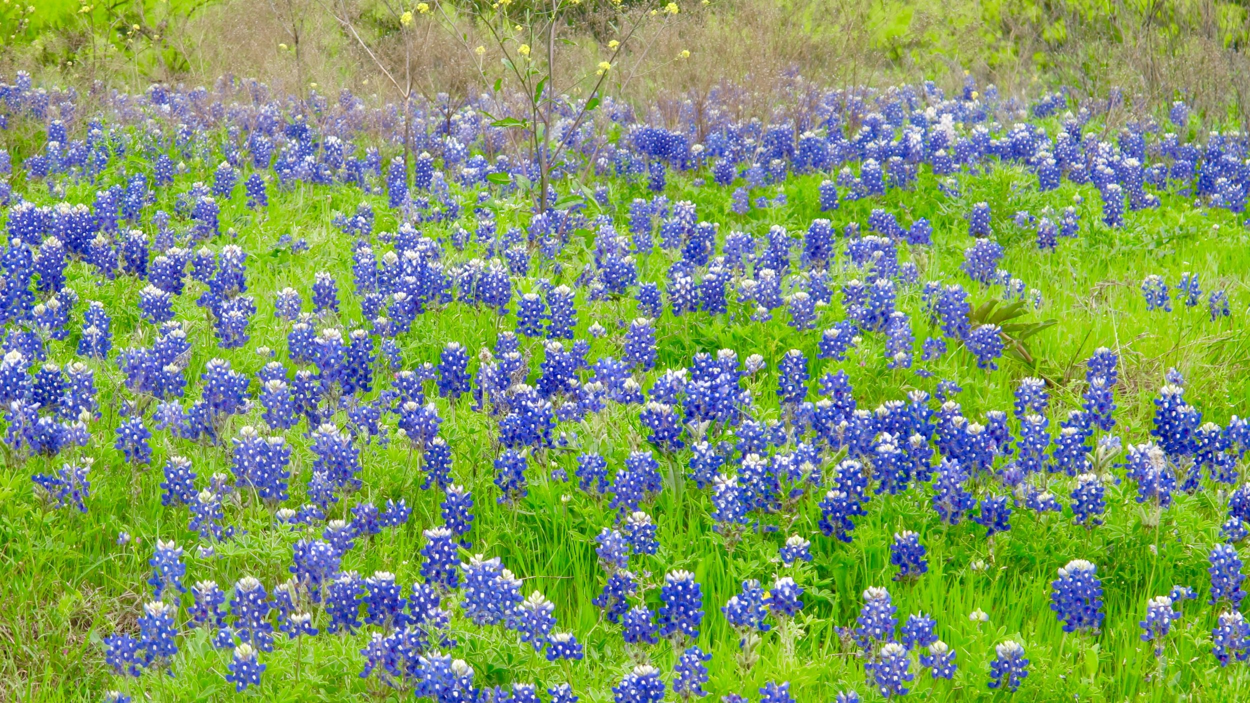 """Lupinus Texensis is the most common bluebonnet variety and is considered by most as THE Texas Bluebonnet. Note the distinctive white """"bunny tail"""" that tops the blooms."""