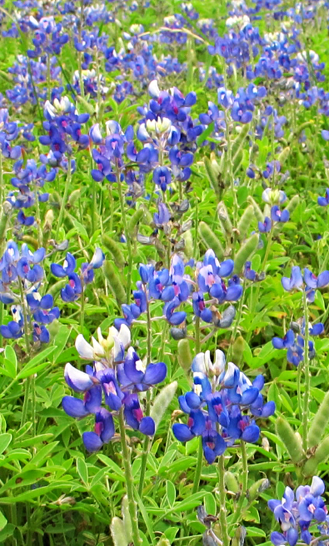 Bluebonnet (by author)