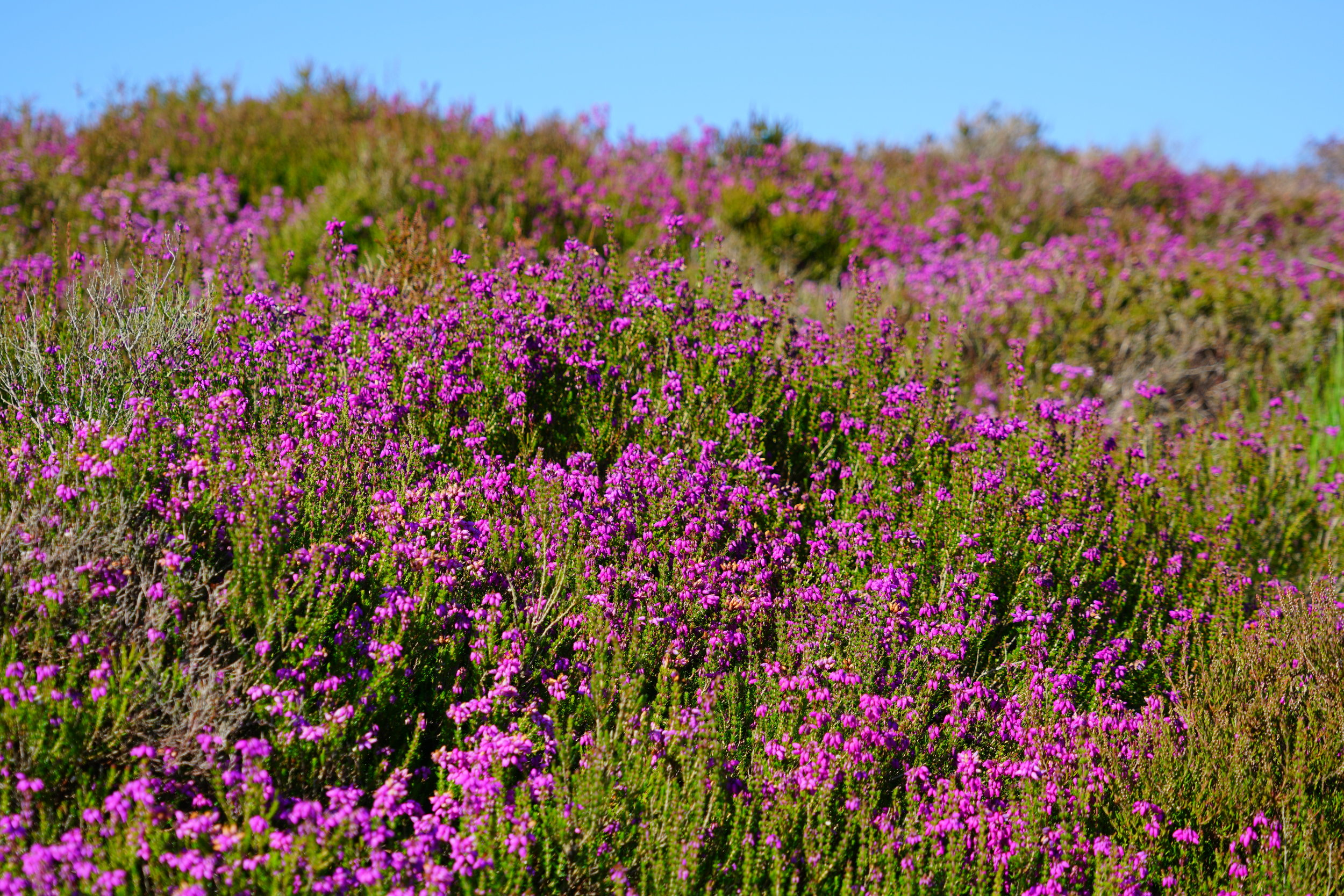 Heather growing on the hills of Arran Stock photo