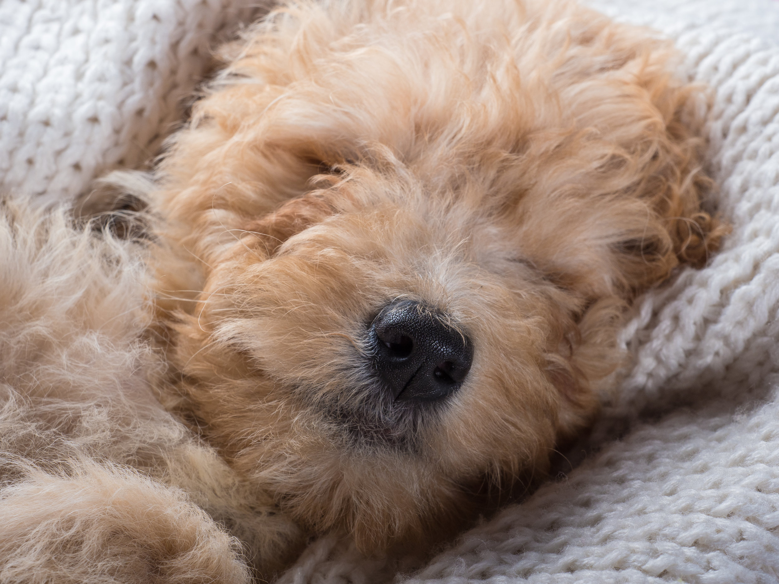 Bailey_goldendoodle_puppy_portraits_4.jpg